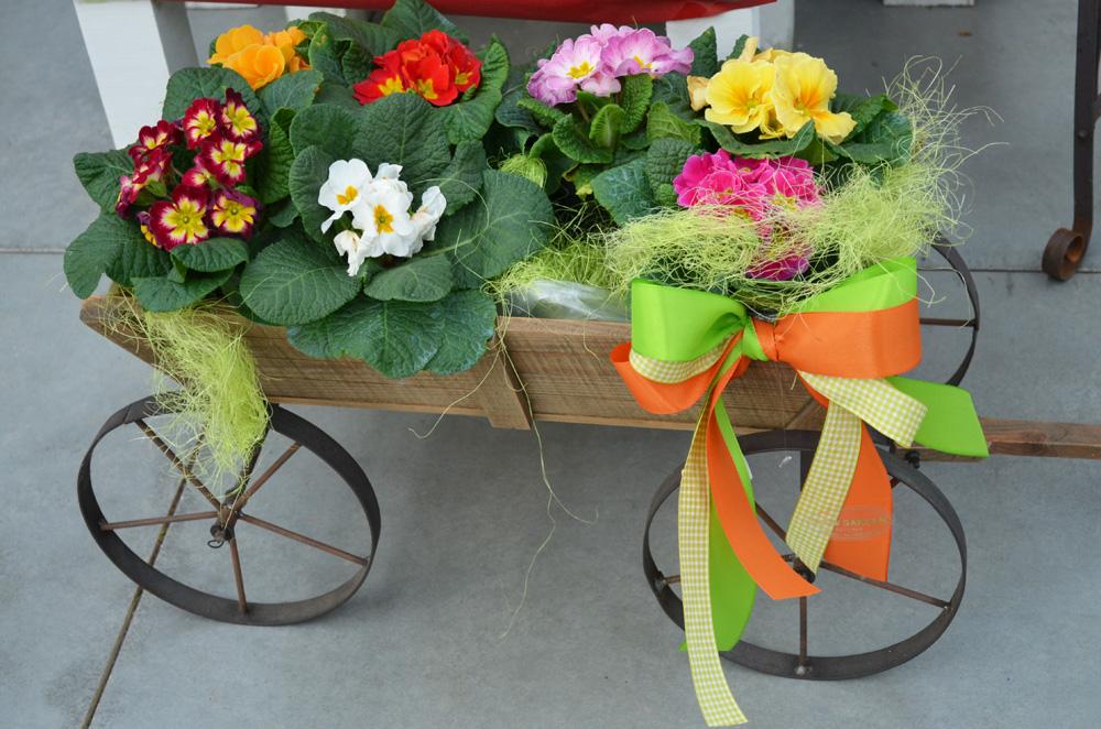 Sono arrivate le primule un piccolo anticipo di primavera for Primule immagini